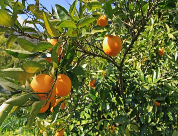 Giorni della Merla: per combattere il freddo e l'influenza arrivano le arance